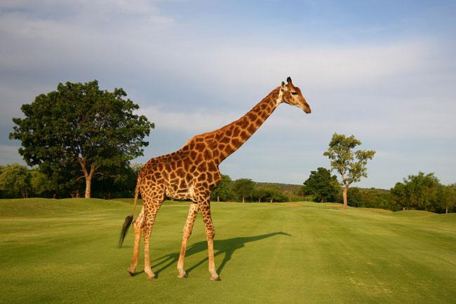 Golfbaan giraffe