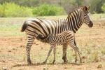 zebra drinkt bij mam.jpg
