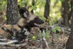 wilddog 1 DSC_0975.jpeg